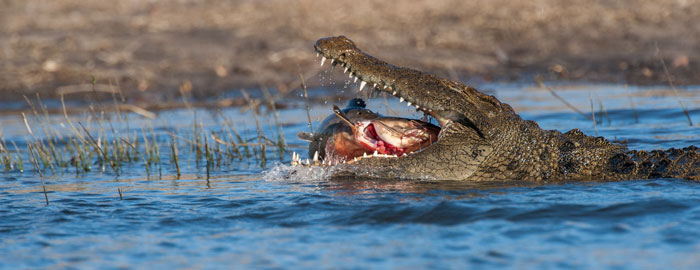 Crocodile-Cat-Fish-Mouth-Meal