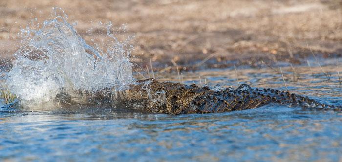Crocodile-hunting-splash