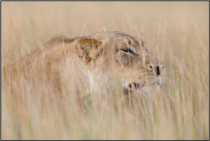 Female Lion window-shopping. ©Brendon Jennings