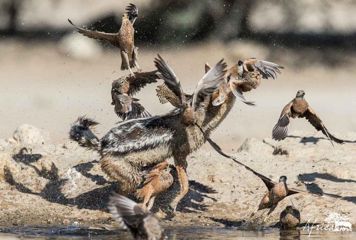 Kgalagadi-hunt-jackel-franklin
