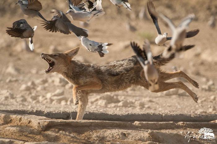 Kwang-doves-jackel