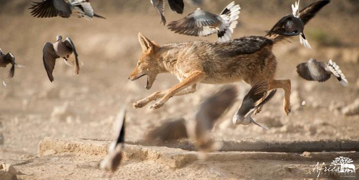Kwang-jackel-doves