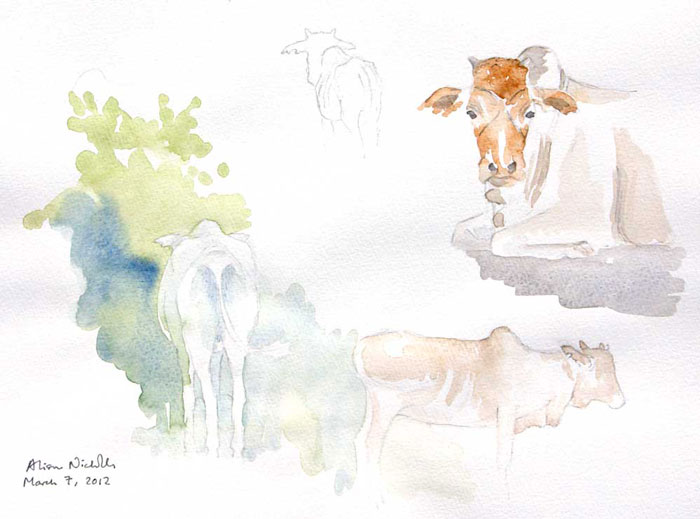 Cattle, watercolor field sketch. Sketching cattle while they are resting helps me become familiar with their body shapes.