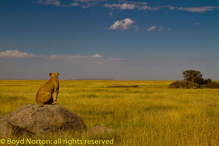 Norton_Serengeti-lion