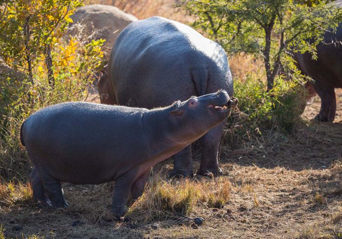 Pilanesberg-Hippo-poop