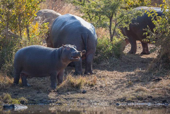 Pilanesberg-july-Hippos