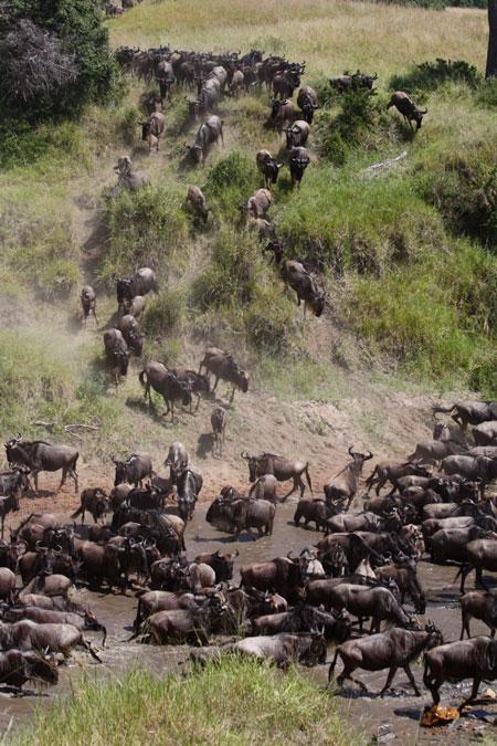 Wildebeest-great-migration