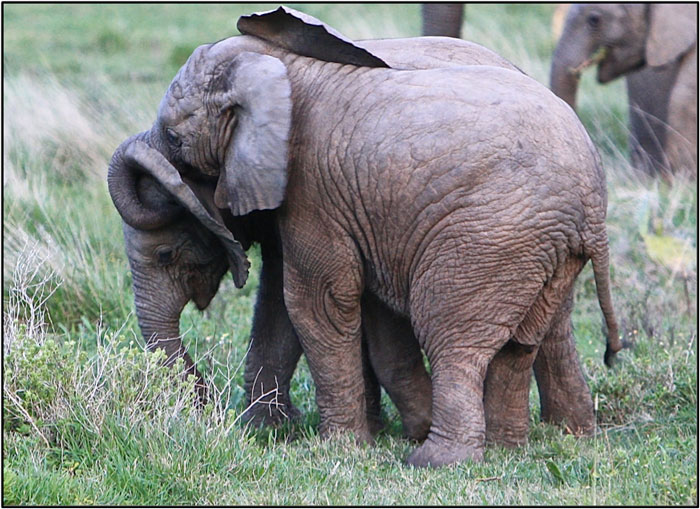 """Young elephants playing the popular """" trunk call"""" game. ©Milanie Van Huysteen"""