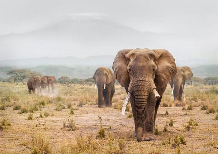 Elephants in Amboseli National Park, Kenya. Image by Thomas Oetjen