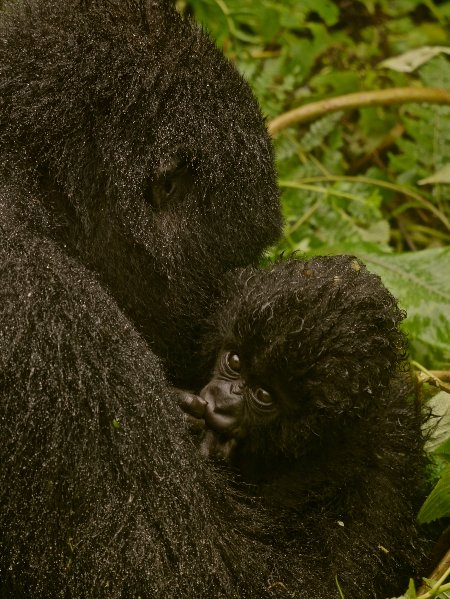 gorilla-family-in-the-rain