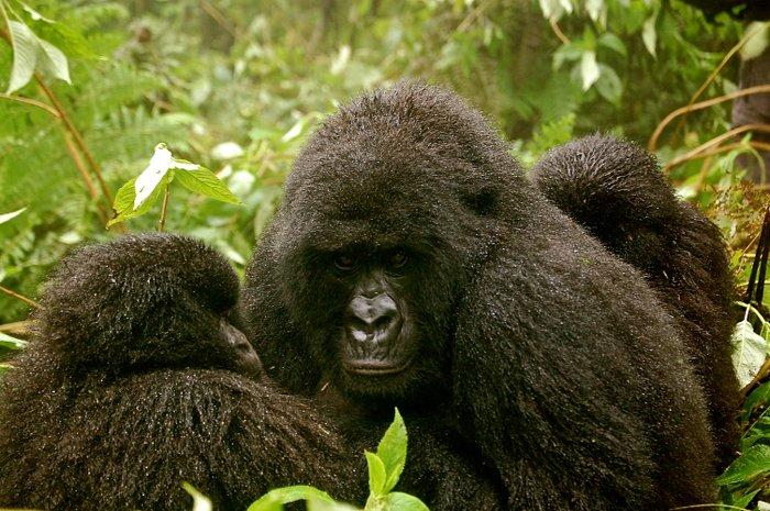 gorilla-twins