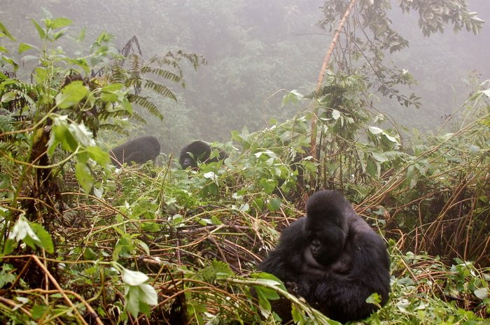 gorillas-in-the-mist