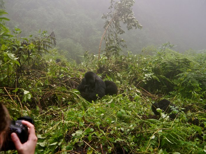 gorillas-in-the-rain