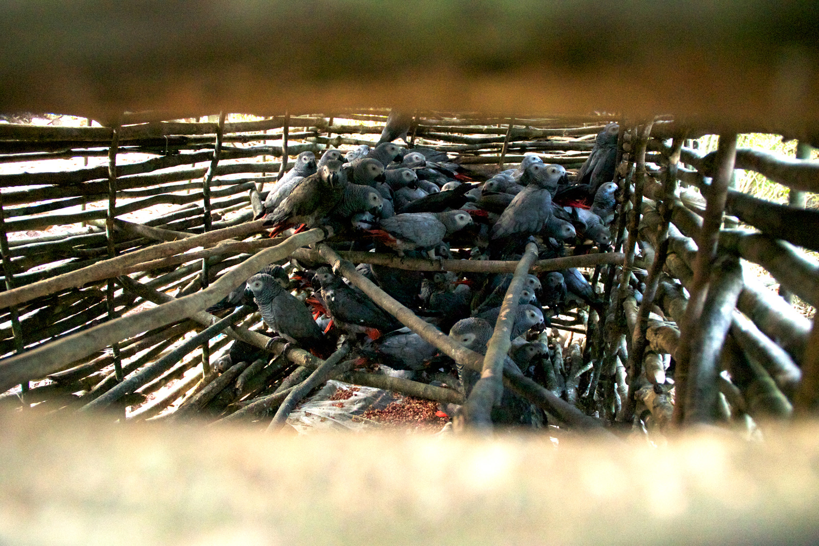 grey-parrots-captured-shades-of-grey