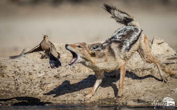 jackel-grouse-Kgalagadi