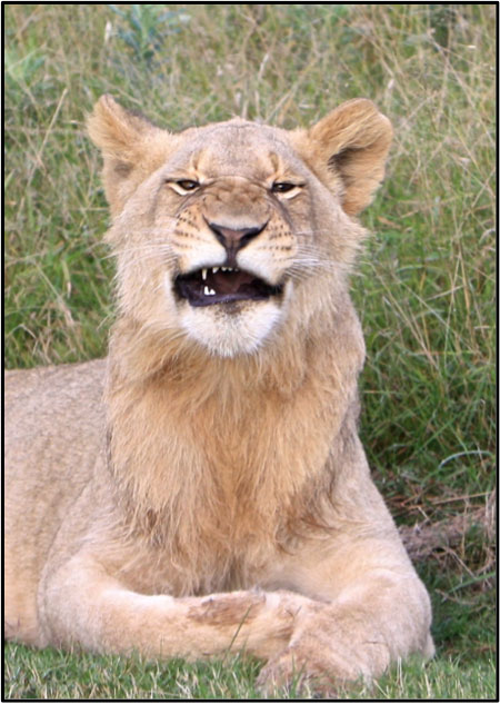 Young Male Lion grimacing at the crowd. ©Milanie Van Huysteen