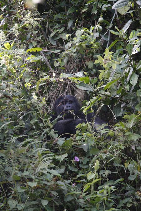 wild-gorilla