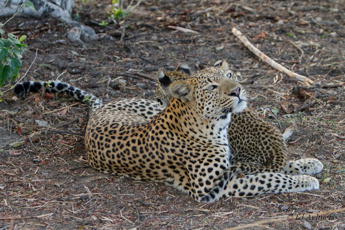 0209-Leopard--motherly-love