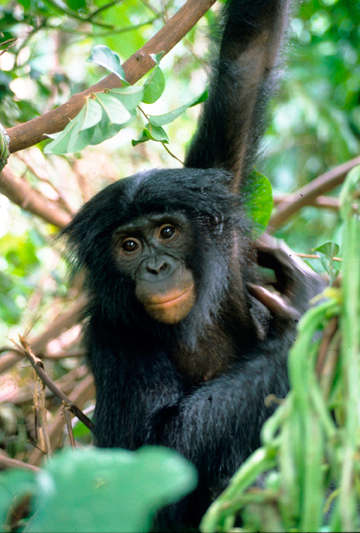 A bonobo such as this one could have transported Ebola Zaïre unintentionally from the DRC to Guinea, setting off the epidemic. Photo: Karl Ammann.