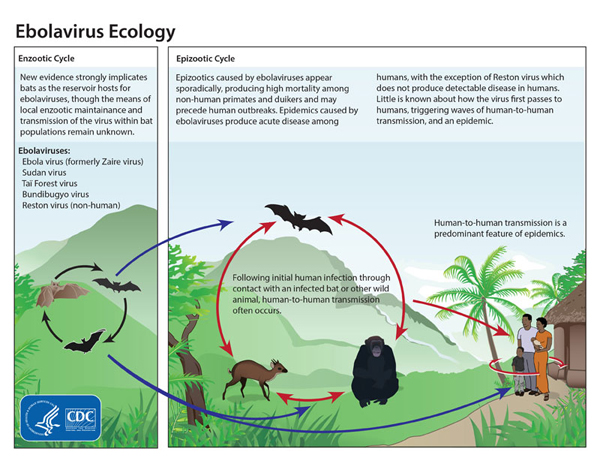 Bats are thought to be reservoirs of Ebola and are not affected by it. They pass it on to other animals, in turn infecting humans through bush meat processing. Courtesy, Centers for Disease Control.