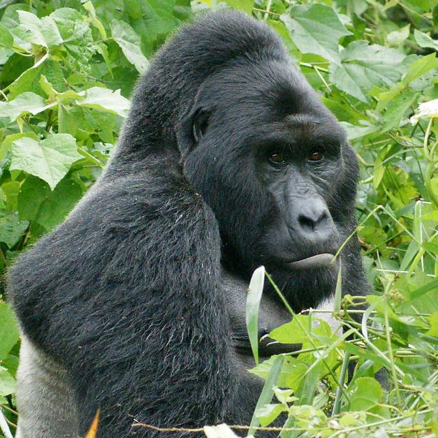 640px-Gorillas_in_Uganda-1,_by_Fiver_Löcker - 2