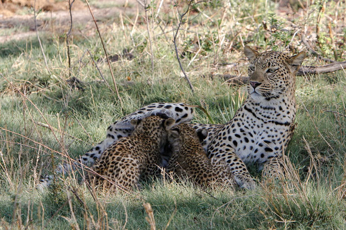 9901-Leopard-and-cubs