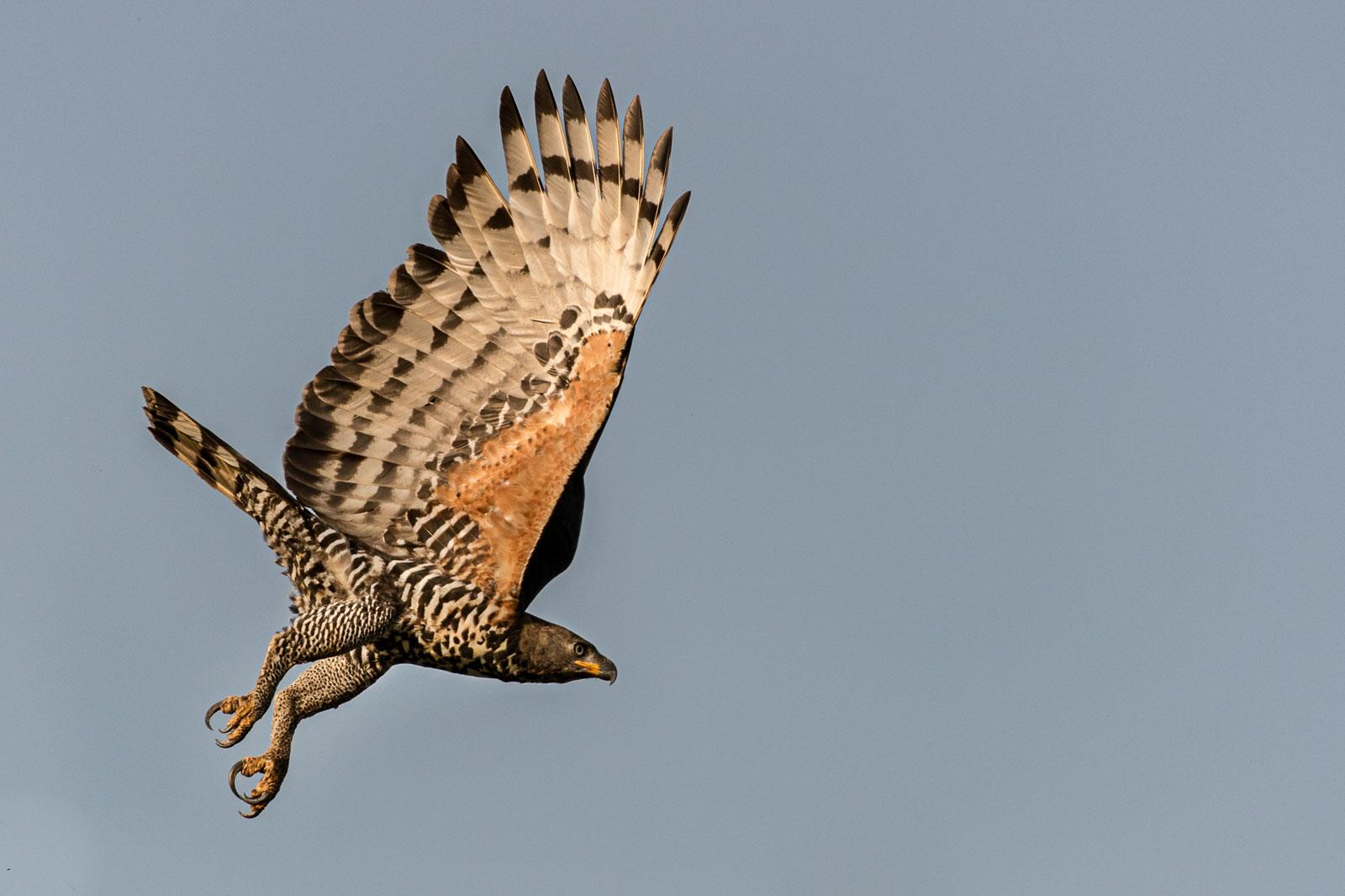 African-crowned-eagle_Michael-Viljoen