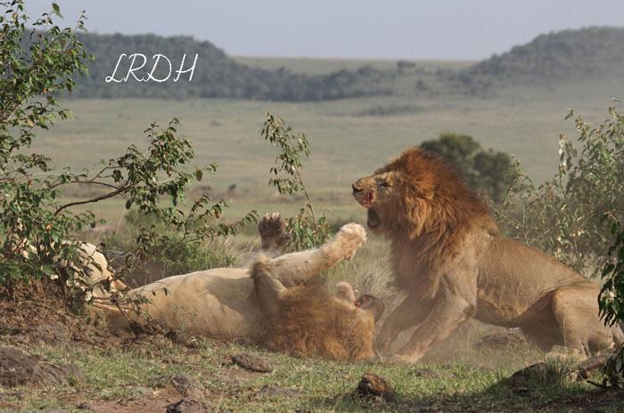Combat-lions