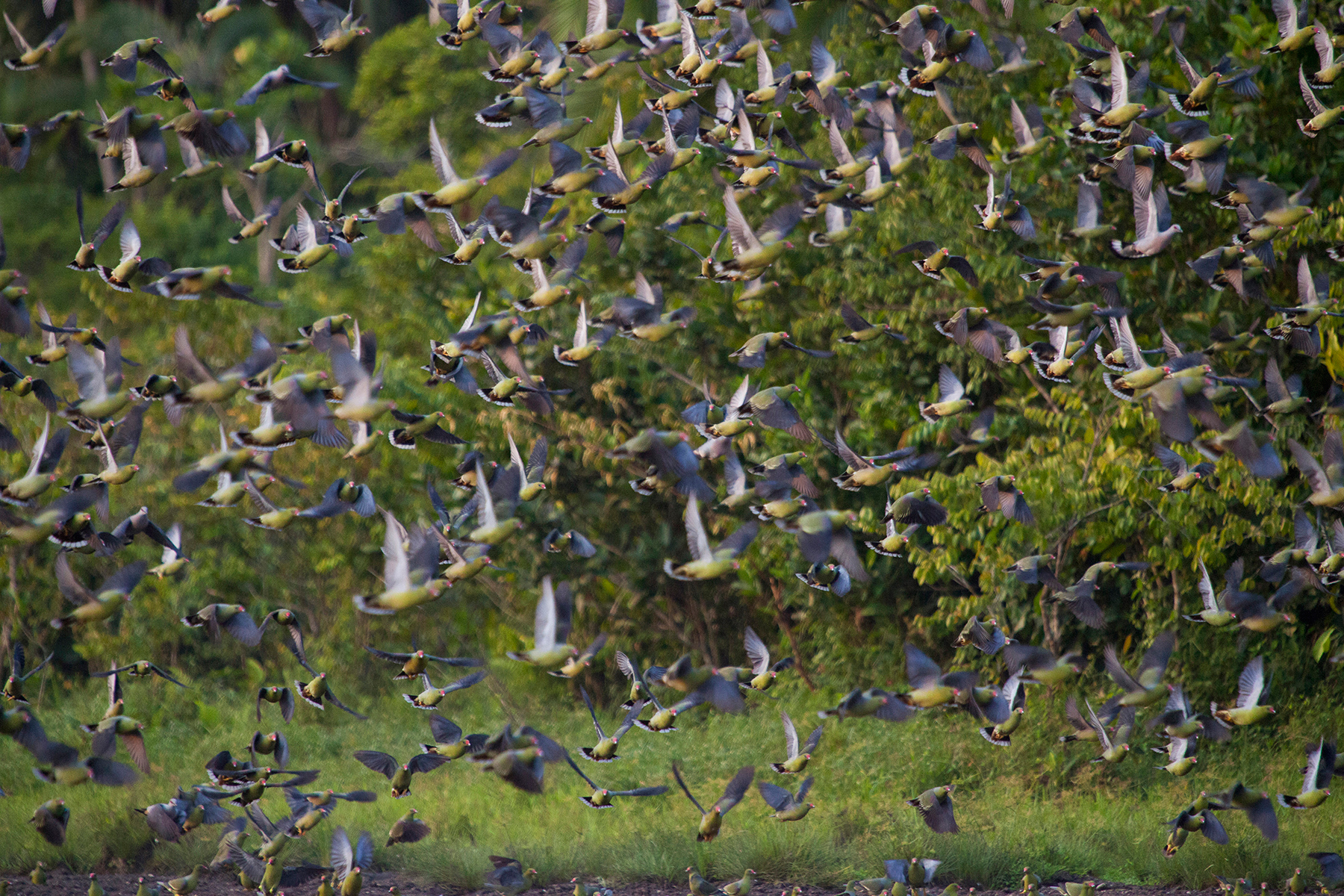 Congo-african-green-pigeons_Sophie-Smith_Go2Africa_024