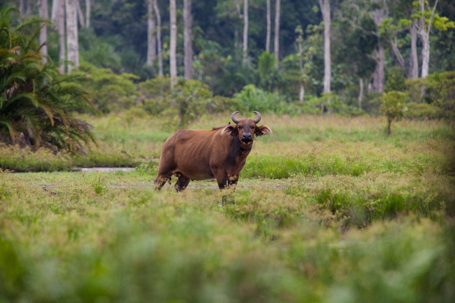 Congo-buffalo_Sophie-Smith_Go2Africa_026_1