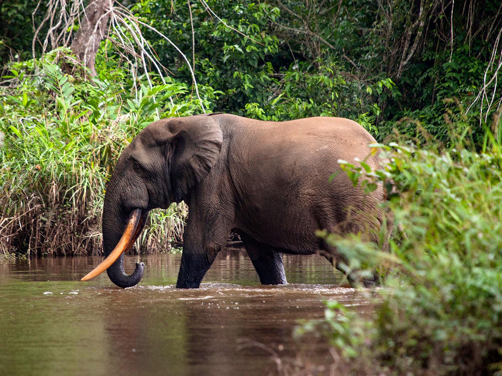 Congo-elephant_Sophie-Smith_Go2Africa_023