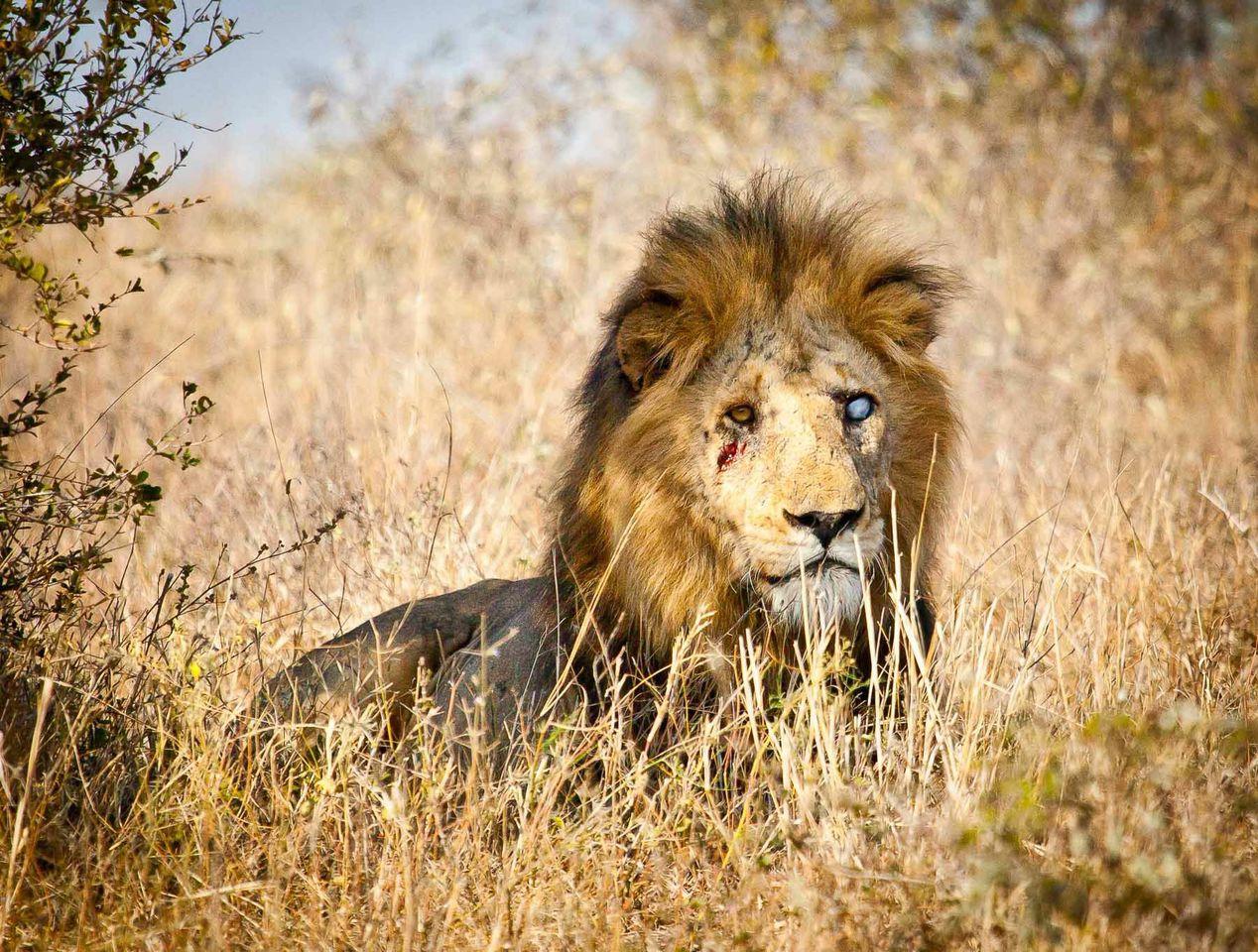 lion kruger national park africa geographic ©scott ramsay