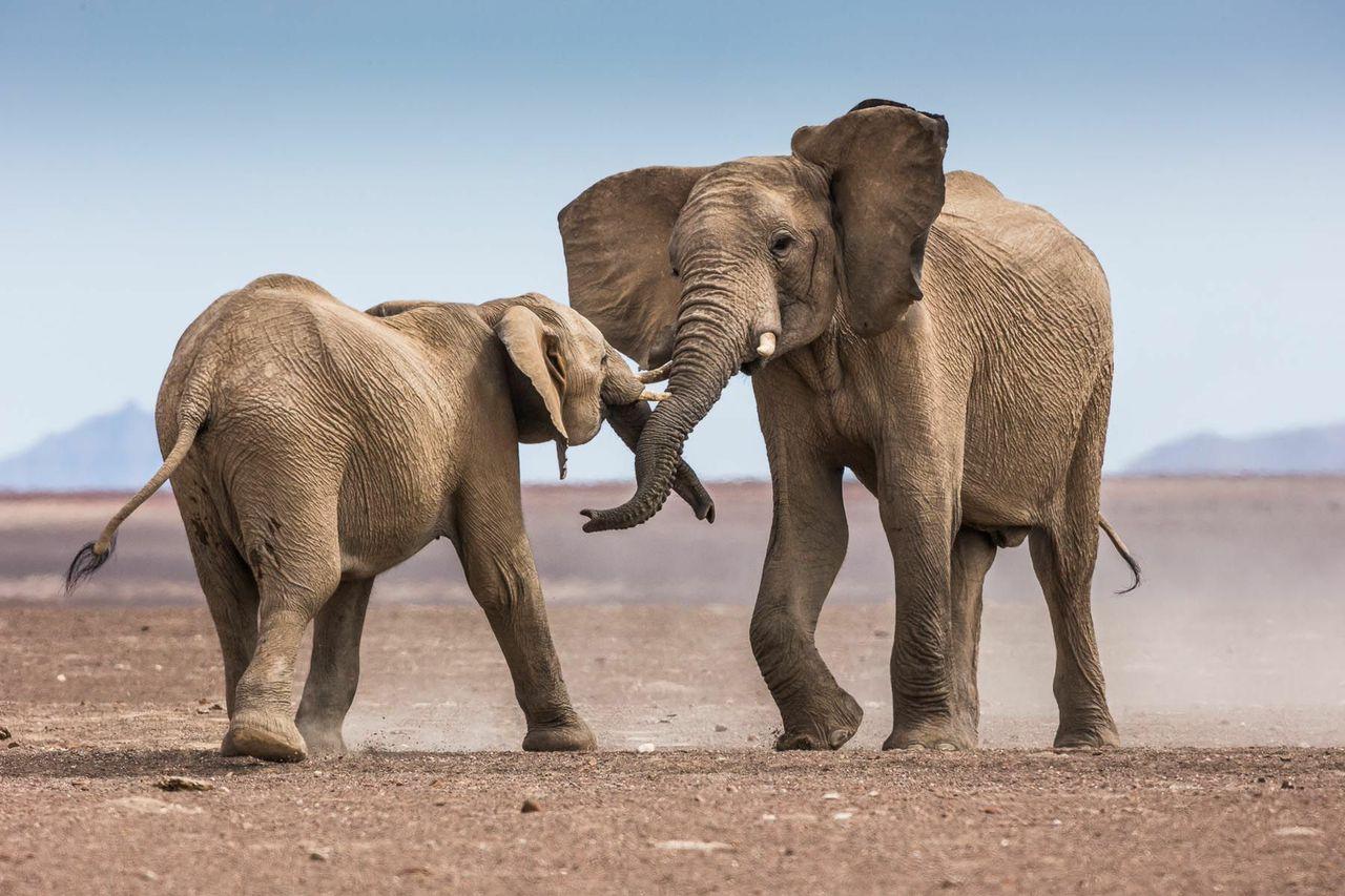 elephant kunene namibia ©scott ramsay