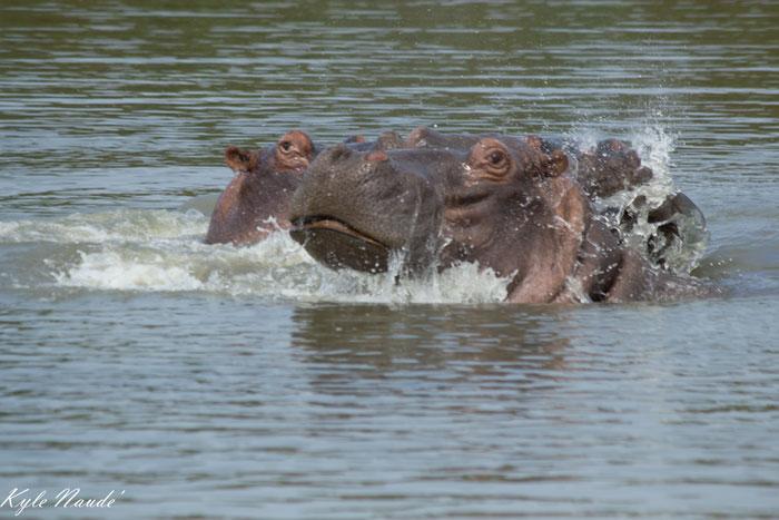Hippos-at-Middel-dam