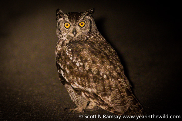 A spotted eagle owl.