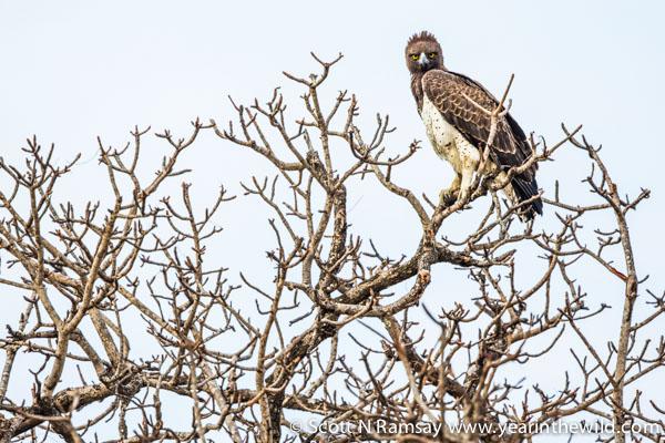 A martial eagle perches on a marula tree.