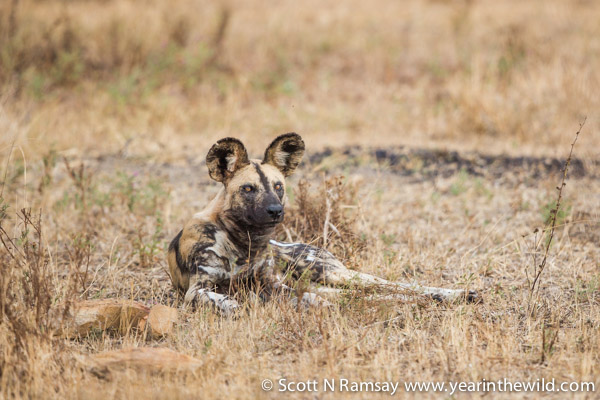 I came across a group of wild dogs, but there were so many cars, that I left the scene earlier than I would have liked. It's the one downside to visiting the south of Kruger at this time of year. There are so many tourists, that sightings can become congested.