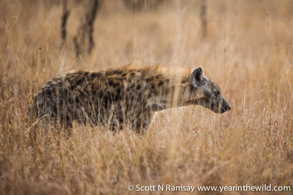 A brief glimpse of a hyena in the early morning.