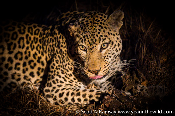 The look of a seriously irritated leopard. But I'd be too, if I had my dinner stolen by five hyenas!