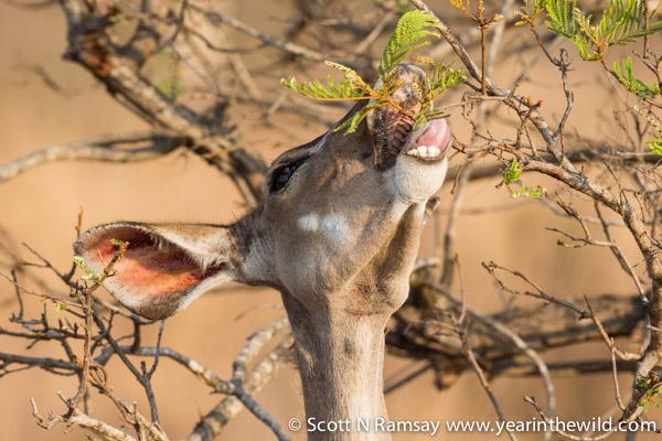 A female kudu snacking.