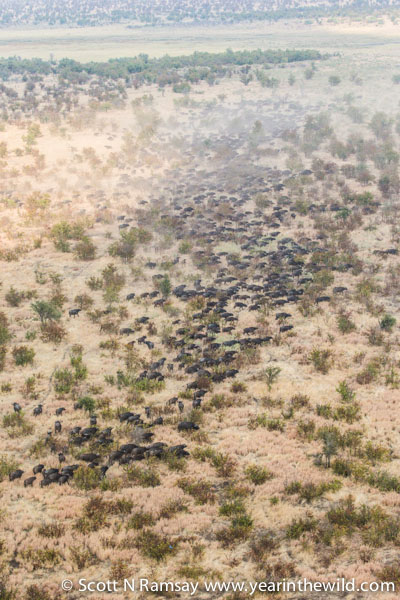 The buffalo were spooked by the helicopter, although they tried to run, they refused to leave the mopane woodland and go into the adjacent grassland. They probably felt they were safer within the woodland.