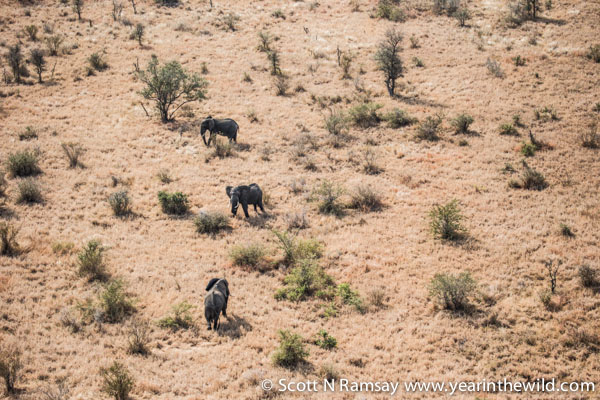 Three ellies, in typical open woodland and savannah in the central area of Kruger