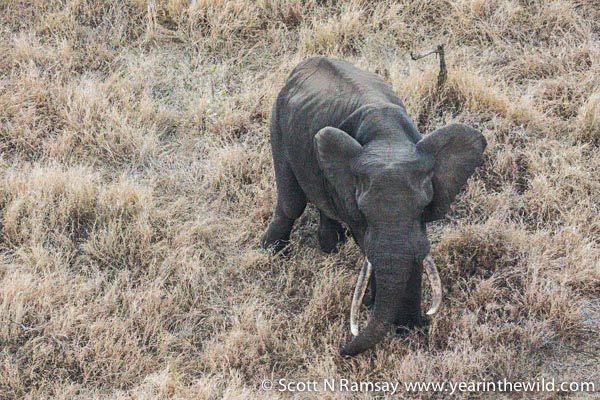 A big tusker, spotted from the air in the SANParks chopper