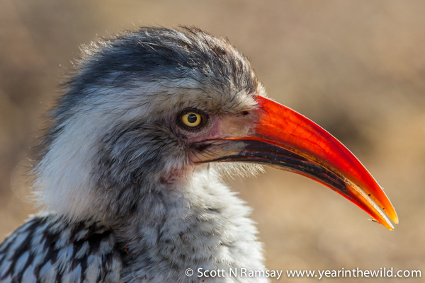 Up close to a red-billed hornbill