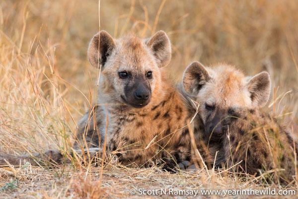 Hyena pups on Nwanetsi Road