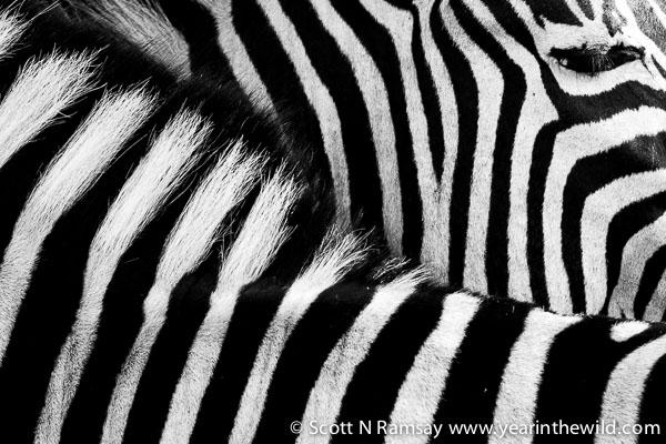 Zebra details