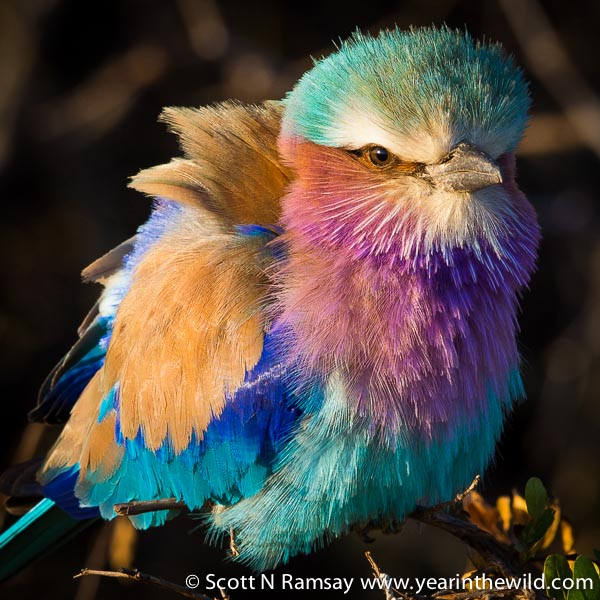 Colour burst - a lilac breaster roller fluffing up his feathers in the early morning cold