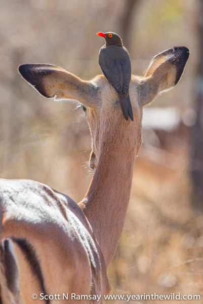 Impala lookout - a red-bill oxpecker keeps watch