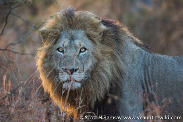 Bumped into this beautiful male lion early one morning. He was moving quickly too, no doubt looking for a meal