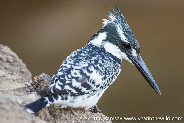 A pied kingfisher looking for a meal.